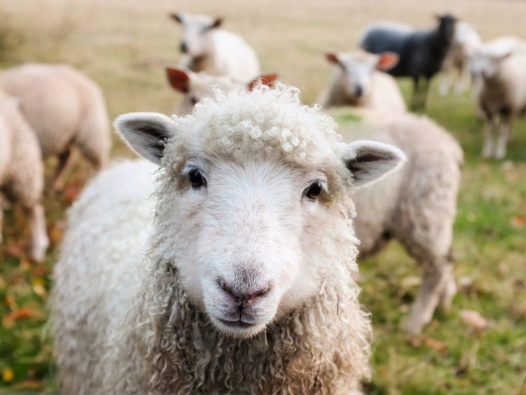 羊は声を知っているの写真